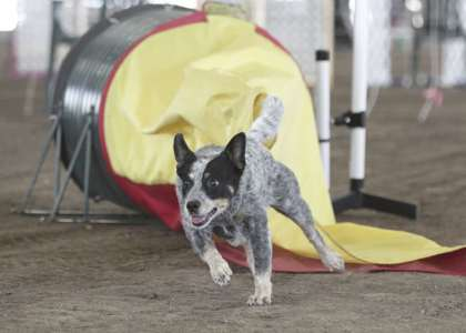 Kylie #3 AKC Agility Cattle Dog