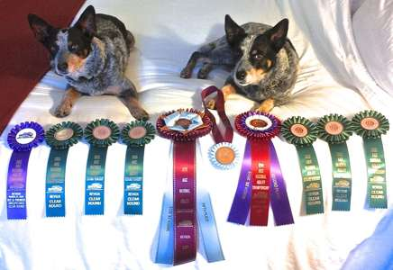 2015 National Agility Championships Swan Dogs with Ribbons